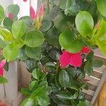 Mandevilla sanderi Flower