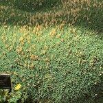 Dianthus webbianus