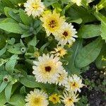 Calendula officinalis Kwiat