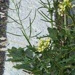 Erucastrum gallicum