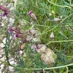 Silene secundiflora