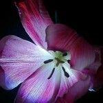 Tulipa lortetii