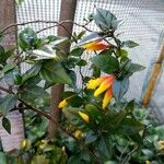Justicia floribunda
