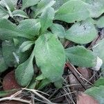 Bellis sylvestris Leaf