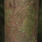 Caraipa densifolia
