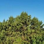 Juniperus phoenicea Хабит