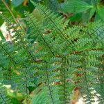 Adiantopsis chlorophylla