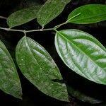 Piper cabagranum