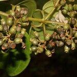 Casearia commersoniana