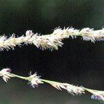 Sorghum arundinaceum