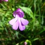 Cynorkis purpurascens