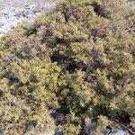 Juniperus phoenicea Blad
