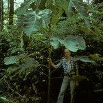 Macaranga gigantea