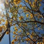 Handroanthus ochraceus