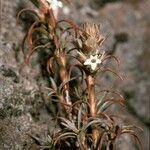 Dracophyllum