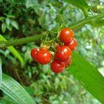 Maytenus guyanensis