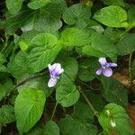 Viola anagae