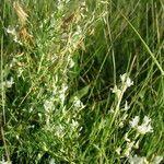 Astragalus tenellus