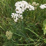 Achillea millefolium Kukka