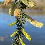 Acacia verticillata