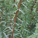 Vachellia karroo Leaf