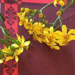 Senecio angulatus Flower