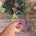 Dissotis rotundifolia List