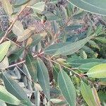Syzygium jambos Feuille
