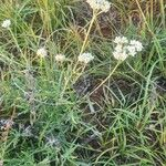 Helichrysum globosum