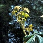 Oreopanax echinops