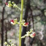 Scrophularia laciniata