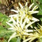 Perezia coerulescens