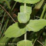 Hypericum caprifolium