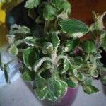 Plectranthus forsteri List