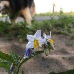 Solanum dimidiatum