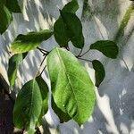 Ficus racemosa Leaf