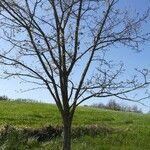 Acacia abbreviata