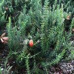 Erica verticillata Leaf