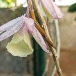 Dendrobium aphyllum