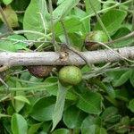 Ficus reflexa