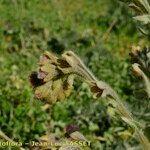 Cynoglossum clandestinum