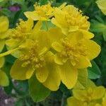Euphorbia epithymoides