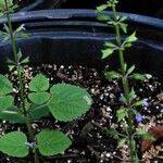 Salvia tiliifolia