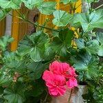 Pelargonium zonale Flower