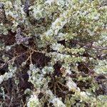 Caroxylon vermiculatum Blomst