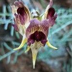 Linaria aeruginea