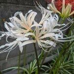 Lycoris × albiflora Kwiat