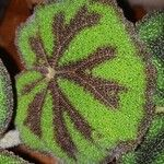 Begonia variegata