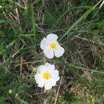 Helianthemum apenninum Flower