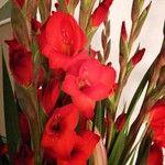 Gladiolus communis Virág